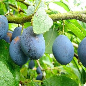 1280px-Damson_plum_fruit