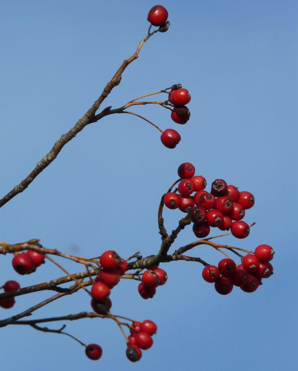 berries-10531